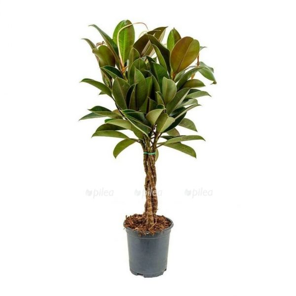 ficus-elastica-melany-rubber-plant-indoor-house-plants-810×810